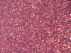 Cranberry Harvest Gerts bog berries1