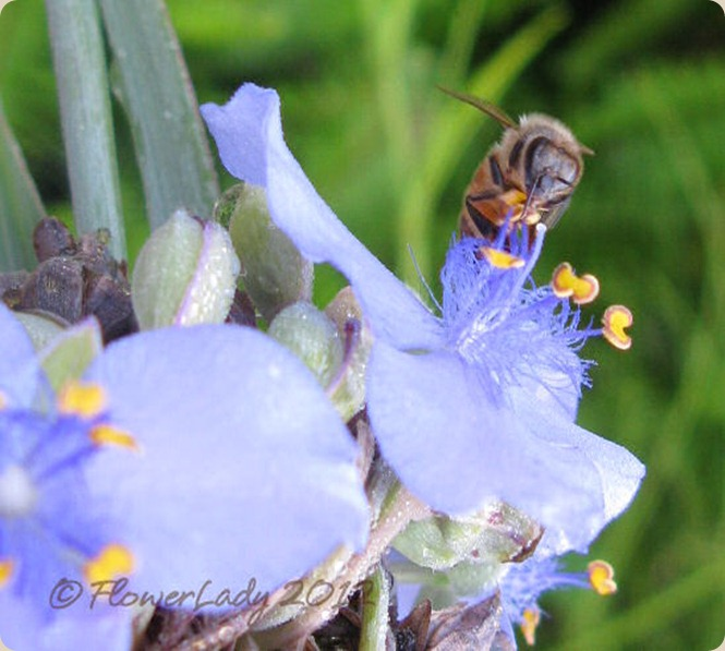 05-16-spiderwort-bee