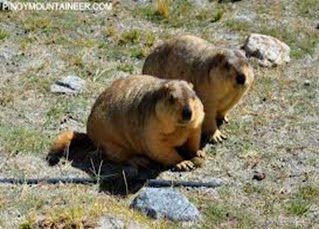 Amazing Pictures of Animals, Photo, Nature, Incredibel, Funny, Zoo, Himalayan marmot, Sciuridae, Mammalia, Alex (2)