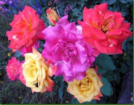 Rosa MIRACLE
