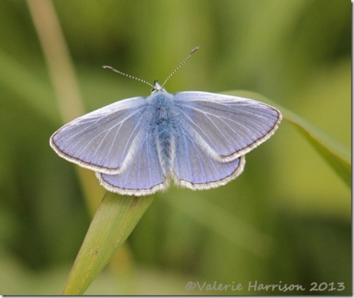 66-common-blue
