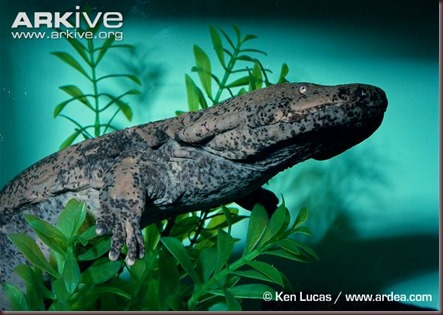 ARKive image GES008288 - Chinese giant salamander