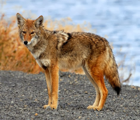 Amazing Pictures of Animals, Photo, Nature, Incredibel, Funny, Zoo, Coyote, Canis latrans, Alex (7)
