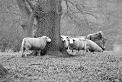 Sheep-at-Riseholme