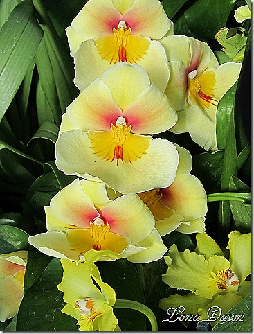 FPC_Orchid_Yellow_Beauty
