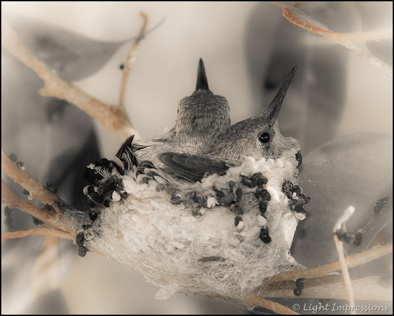 Light Impressions-Two Hummingbirds in Nest