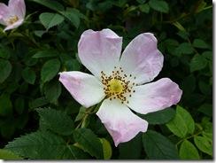 balmoral wild rose
