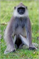 _P6A2117_grey_langur_monkey_mudumalai_bandipur_sanctuary