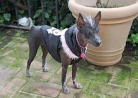 Amazing Pictures of Animals, Photo, Nature, Incredibel, Funny, Zoo, Dog, Mexican Hairless Dog, Xoloitzcuintle, Mammals, Alex (13)