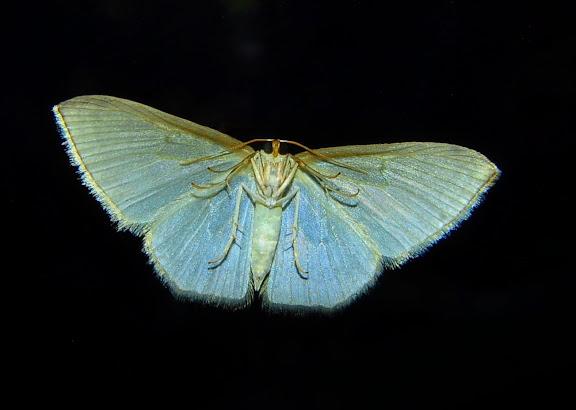 Geometridae : Larentiinae : Asthenini : Poecilasthena pulchraria DOUBLEDAY, 1843, verso. Umina Beach (New South Wales, Australie), 10 mai 2011. Photo : Barbara Kedzierski