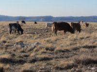 Krave na zimski paši