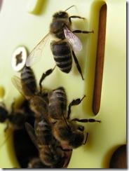 3,9,2011 včelí hoblování 349