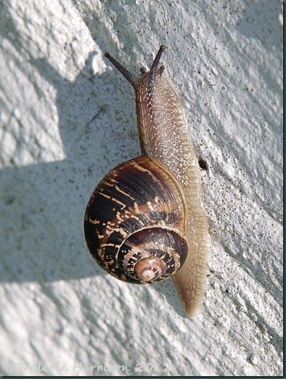9-garden-snail