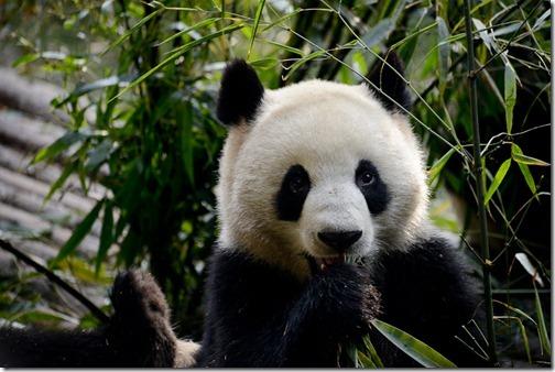 DSC_7113LR_Pandas