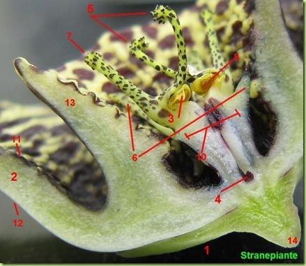 orbea variegata sezione fiore numeri