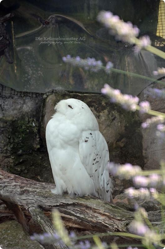 Wremen 29.07.14 Zoo am Meer Bremerhaven 35 Schneeeule