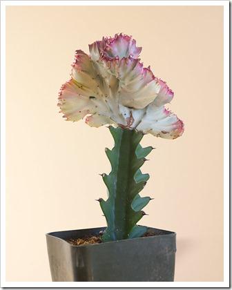 111220_Euphorbia-lactea-Rainbow-Crest_006