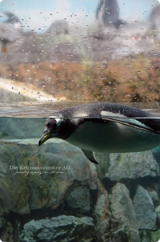 Zoo Frankfurt Eselspinguin 150813
