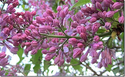 Lilacs_March31