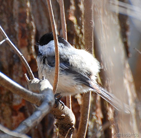 3. winter chickadee