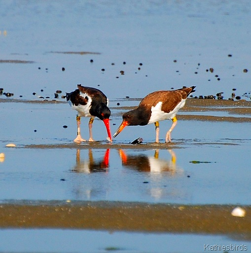 3. American Oystercatcher-kab