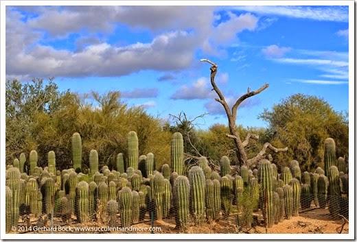 141231_Tucson_Bachs_0038
