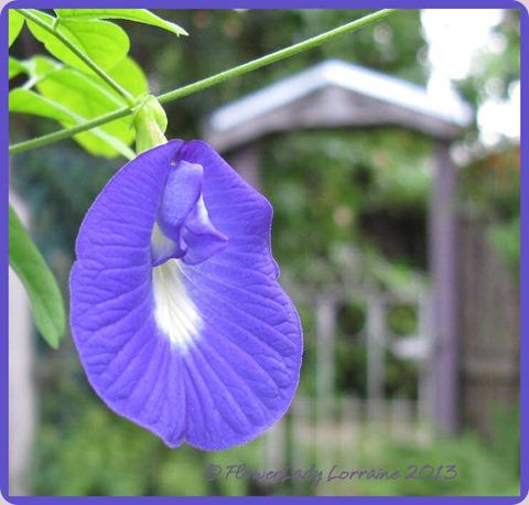 08-26-blue-pea-vine
