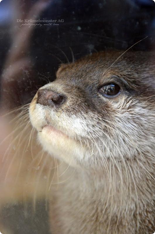 Wremen 29.07.14 Zoo am Meer Bremerhaven 29 Zwergotter