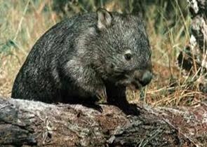 Amazing Pictures of Animals, Photo, Nature, Incredibel, Funny, Zoo, Common wombat, Vombatus ursinus, Marsupial, Mammals, Alex (6)