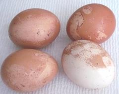 Eggs losing brown color 3. 2013