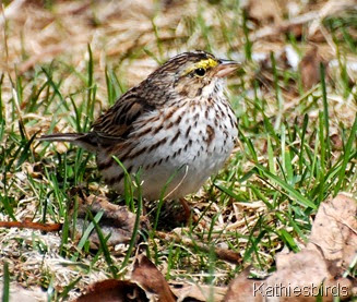 DSC_0236 savannah sparrow-kab