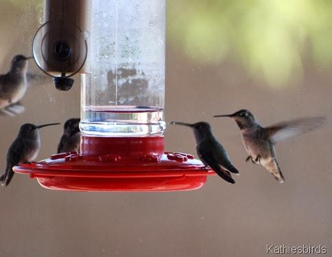 Hummingbird feeding frenzy 10-29-2009