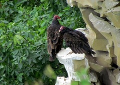 Two Vultures On The Rock Wall