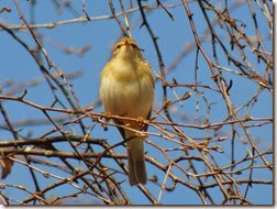 Chiff-chaff cannock chase april 2014