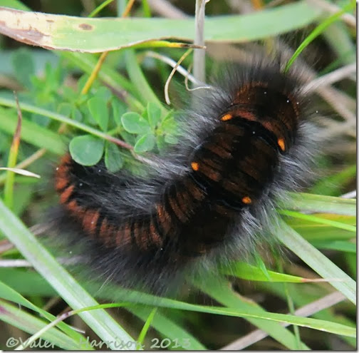 4-caterpillar