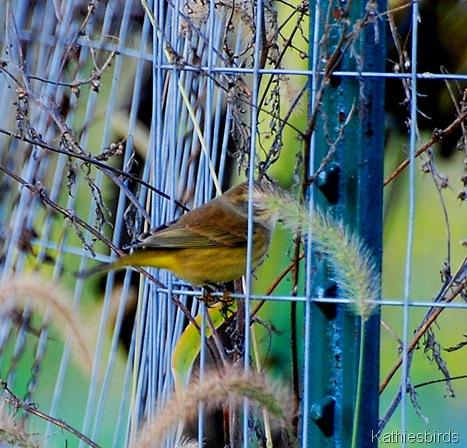 2. Palm warbler-kab