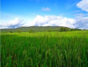 Klasifikasi padi