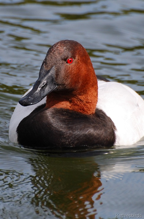 7. male canvasback-kab