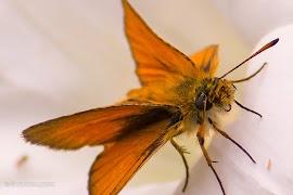 IMG_6628-roodbruine-vlinder.jpg