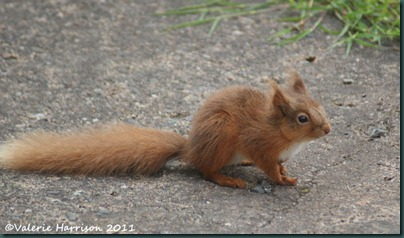 red-squirrel-tiny