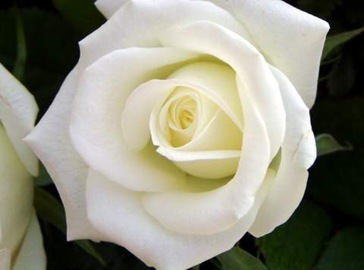 flores-belas-rosa-branca