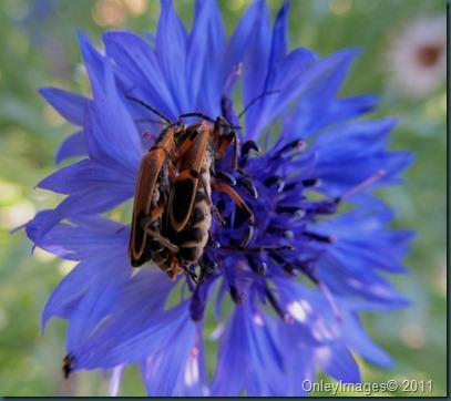 soldier beetles0603 (3)
