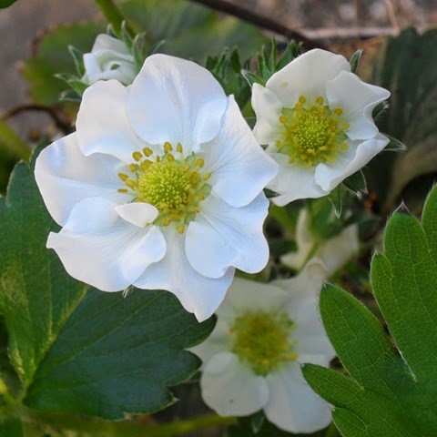 container strawberry flowers