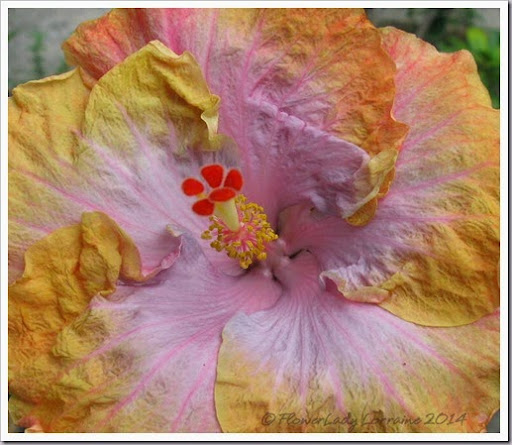 hibiscus ,hugs and kisses | flowers | Pinterest | Hibiscus and Flowers