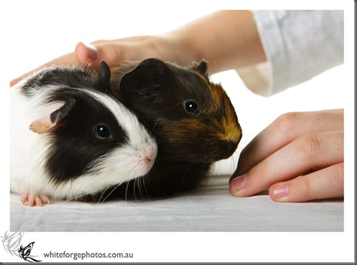 WhiteForgePhotos_guineapigs-1