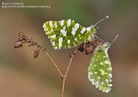 Amazing Pictures of Animals, Photo, Nature, Incredibel, Funny, Zoo, Euchloe tagis, Butterflies, Portuguese Dappled White, Alex (13)