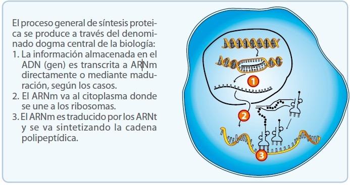 ¿Cómo se produce la síntesis de proteínas