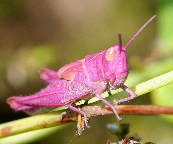 Pink grasshopper 03