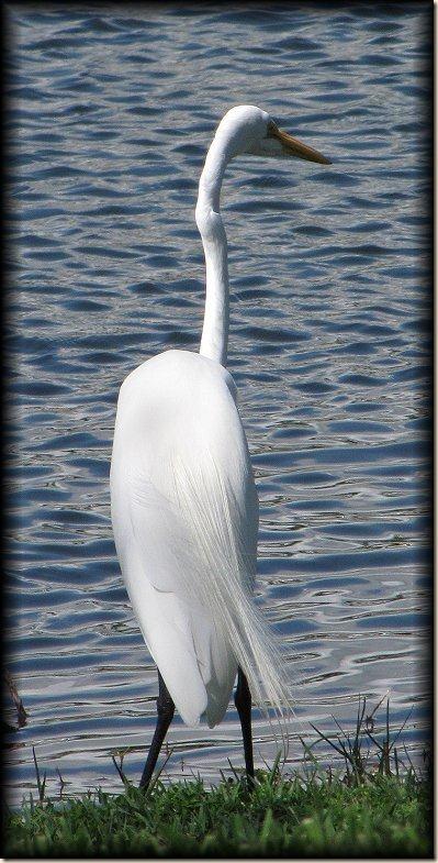 egret-1[1]