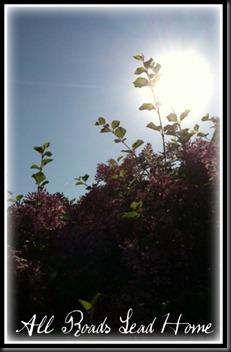 lilacs bloomed5 ARLH